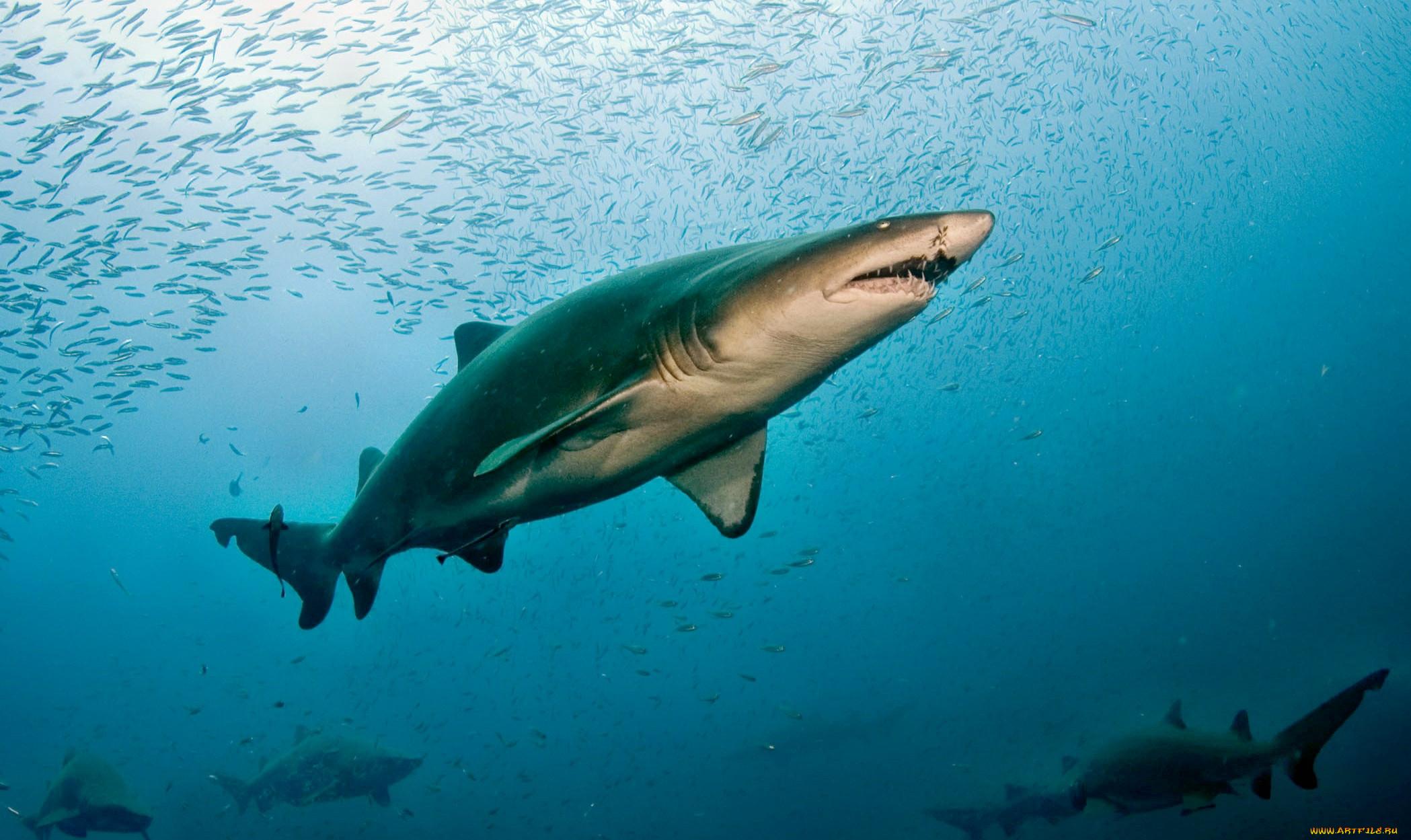 петербурге реальные фото акул в океане спасает поселок северных